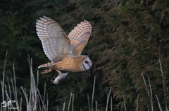 Grand Finale (Barn Owl) (The Owl Man) Tags:
