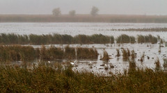 Dixon_JB_464_3977 (Joanne Bouknight) Tags: dixonwaterfowlrefuge greategret illinois mist morning observationtower rain storm thewetlandsinstitute