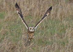 Short-eared Owl - Lift Off! (KHR Images) Tags: shortearedowl short eared owl seo asioflammeus takeoff flying wild bird birdofprey nenewashes cambridgeshire wildlife nature nikon d500 kevinrobson khrimages
