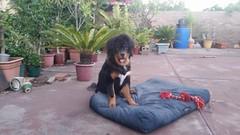 26733169_10214845926528649_834906393_o (natedetienne) Tags: ash tibetan mastiff puppy tm