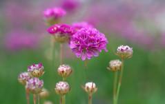 Purple Balls (TimHarris4096 Dazed and Confused) Tags: purple sonya850 flower flowers boerne bokeh sanantonio texas m42 macro macrotubes