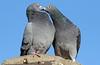 pidgeon artis BB2A7787 (j.a.kok) Tags: vogel bird artis duif dove pidgeon