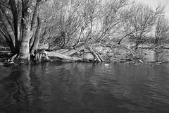 On the riverbank (tmertens0) Tags: flus river ufer bank rhein rhine hessen rheingau deutschland germany europe europa kalt sonnig sunny cold winter sunset sonnenuntergang yashica ml 35 28 schwarzweis blackwhite