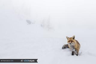 Un regalo della neve... (Valsavarenche, Parco Nazionale Gran Paradiso, Valle d'Aosta)