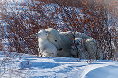 Cuddle bear (Nedko Nedkov) Tags: canada manitoba snow wapusk wapusknp bear cub cubs mum polarbear white wildlife winter