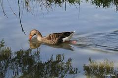 Oie cendrée (Passion Animaux & Photos) Tags: oie cendree greylag goose anseranser parc animalier saintecroix france