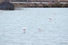 salinas-de-san-pedro-murcia-13 (psemitiel) Tags: flora fauna aves flamencos flamenco vuelo volar laguna salina san pedro pinatar murcia turismo ecologia parque ecologico naturaleza