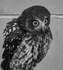 Eyes Wide Open (Steve Taylor (Photography)) Tags: boobookowl owl bird monochrome blackandwhite monotone uk gb england greatbritain unitedkingdom london
