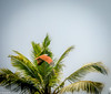 Brahminy Kite on Fight (Balaji Photography - 4.8M views and Growing) Tags: backwaters poovar green travel resort kerala gogreen brahminykite birdinflight birding bird kite raptors