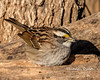 White-throated Sparrow (Lindell Dillon) Tags: winterbirds whitethroatedsparrow bird nature oklahoma crosstimbers wildoklahoma lindelldillon