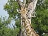 Girafe - Hwange - Zimbabwe 2018 (Valerie Hukalo) Tags: hwange zimbabwe girafe afrique africa linkwasha wildernesssafaris safari gamedrive faunesauvage wildlife hukalo ngamo ngamopan giraffe