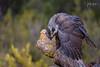 Ocultando la presa II (Lagier01) Tags: aves azor birds fauna hidelosaltillo nature wildlife pájaro rapaces animal