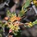 Melaleuca pauciflora (jeans_Photos) Tags: rutherglenroad ashendon westernaustralia melaleuca
