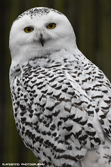 Snowy owl - Zie-Zoo (Mandenno photography) Tags: dierenpark dierentuin dieren animal animals owl owls snow snowowl snowy ziezoo ngc nederland netherlands nature bird birds