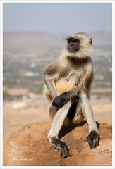 Madame Macaque prend la pose (Joce.V) Tags: asie asia inde india indedunord rajasthan pushkar macaque animal mammifère faune voyage travel canon canoneos5dmarkii canonef2470f28lusm