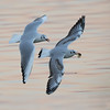 Running for a food in the sunset (Nemanja Zotovic PHOTOGRAPHY) Tags: sunset feeding river seagull gull flight inflight pair wings feather food beak tail twillight pursuit detail