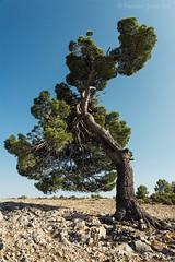 Espíritu indómito. / Indomitable Spirit. (Recesvintus) Tags: albcete españa spain tree árbol pine pino nature naturaleza polarizer polarizador jyc landscape paisaje sonya5100 sonyilce5100 sky cielo sonyepz1650mmf3556oss outdoors airelibre recesvintus