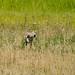 Coyote 10