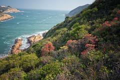 趕赴一場吊鍾花綻放的盛宴 (samuel.w photography) Tags: hongkong landscape seascape wildflowers