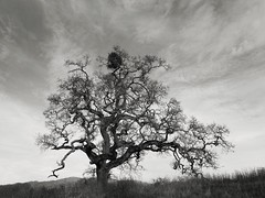 An Oak with Mistletoe (StefanB) Tags: usa 1235mm 2017 californa em5 geotag hiking josephdgrant tree treescape cloud mistletoe outdoor oak