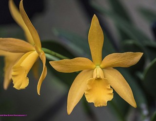 Orchid Yellow.