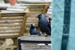 Will you be my bird? (suekelly52) Tags: jackdaw humour valentine crow