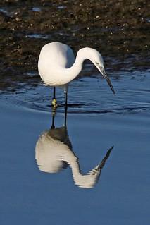 Mirrored Egret