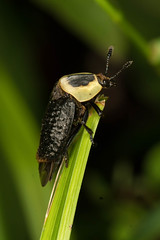 American Carrion Beetle (mattbpics) Tags: goshen canon 70d 100mm nature wildlife americancarrionbeetle coleoptera ef100mmf28lmacroisusm primelens