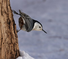 White-breasted Nuthatch (fethers1) Tags: redrocks snow bird coloradowildlife