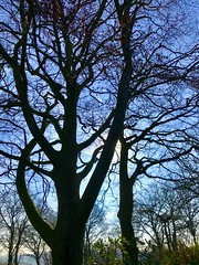 Early Spring Day (valerie C bayley) Tags: dorothyclivegardens staffordshire gardens plants spring iphone nature sky tree flowers blueskies crocus soil wood