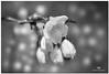 APRIL  2017-021192-222 (Nick and Karen Munroe) Tags: cherry canada cherrytree cherrytrees cherryblossom flowers joycearchdekinpark beauty brampton beautiful brilliant blackandwhite bw blackwhite bandw munroedesignsphotography munroedesigns munroephotography munroe nikon nickmunroe nickandkarenmunroe nature nickandkaren nikon2470f28 karenick karenick23 karenandnickmunroe karenmunroe karenandnick karen ontario outdoors ontariocanada monochrome spring buds blossoms blooms d750 nikond750 2470 2470f28