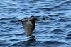 Phalacrocorax pelagicus (Pelagic Cormorant) - WA, USA (Nick Dean1) Tags: phalacrocoraxpelagicus cormorant pelagiccormorant thewonderfulworldofbirds birdperfect birdwatcher washington washingtonusa washingtonstate