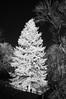 Evergreen - infrared (JSB PHOTOGRAPHS) Tags: dsc544800001 copy evergreen trees nikon d70 1870mm infrared bw blackandwhite sunlight botany plants 720nm eugeneoregon altonbakerpark