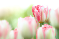 Winter Tulips (Tomo M) Tags: tulip winter pastel outdoor bokeh blur dof