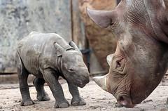 black rhino Blijdorp BB2A8801 (j.a.kok) Tags: rhino rhinoceros blackrhinoceros zwarteneushoorn neushoorn babyneushoorn neushoornkalf rhinocalf calf kalf africa afrika animal blijdorp mammal zoogdier dier herbivore naima blijdorpzoo