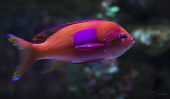 Squareback Anthias (Paula Darwinkel) Tags: squareback anthias fish ocean aquarium sea sealife pink bass animal wildlife nature underwater