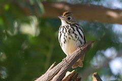 Ovenbird (Jeff Bray) Tags: ovenbird birds orange county california mile square regional park rare warblers nature wildlife canon tamron 150600g2