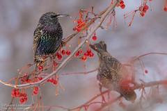 Le garde-manger / The Pantry (Pierre Lemieux) Tags: villedequébec québec canada ca étourneausansonnet europeanstarling domainemaizerets oiseau bird berry red baie rouge fruit