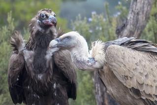Eurasian Griffon and Black Vulture - Sierra de Andujar - Spain