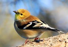 American goldfinch at Lake Meyer Park IA 854A9088 (lreis_naturalist) Tags: american goldfinch lake meyer park winneshiek county iowa larry reis