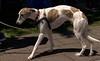 Not So Grey Hound (Scott 97006) Tags: dog canine animal cutie pet leash breed