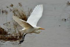 Intermediate Egret 中白鷺 (Jeffreycfy) Tags: ardeidae egrettaintermedia intermediateegret birds birding egrets nature wildlife nikon d500 nikkor200500mmf56e tc14eiii 鷺科 中白鷺 涉禽