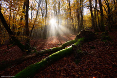 The mystic forest (Hector Prada) Tags: bosque forest niebla fog bruma mist luz light otoño autumn hojas leaves fallen árbol tree musgo moss mystic moment momento golden dreamy paísvasco basquecountry naturaleza nature trees