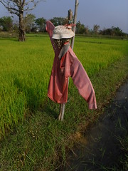 Scarecrow 2 (SierraSunrise) Tags: agriculture canal ditch esarn farming grain isaan nongkhai paddies paddyrice phonphisai poaceae ricepaddies ricepaddy scarecrow thailand