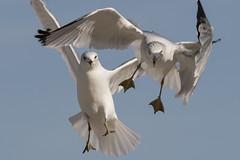 Two Gulls...6O3A6722A (dklaughman) Tags: gull lewes beach delaware