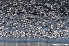 Ice, Water, Snow Geese And Ducks (freshairphoto) Tags: snow geese goose ice ducks flight flock winter migration middle creek wildlife management area kleinfeltersville pa artspearing nikon d500 200500 zoom handheld