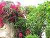 Flower-Cladding! ('cosmicgirl1960' NEW CANON CAMERA) Tags: marbella spain espana andalusia costadelsol flowers worldflowers bougainvilleas parks gardens nature travel holidays yabbadabbadoo