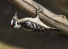 Downy Woodpecker, male (AllHarts) Tags: maledownywoodpecker backyardbirds cordovatn naturesspirit thesunshinegroup passionforbirds