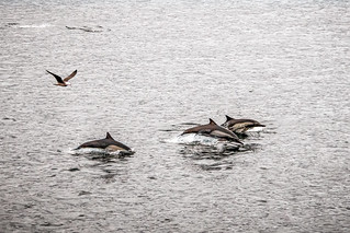 Dolphins with bird