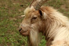 Clover Is Delicious (gripspix) Tags: 20170619 nature natur goat ziege ziegenbock zwergziegeclover klee
